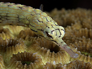 &quot;Pipefish&quot; by Henry Jager 